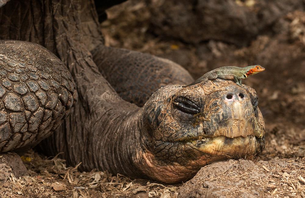 Galapagos Giant Tortoise resting & Lava Lizard<br /> Geochelone elephantophus<br /> Darwin Research Station<br /> Santa Cruz Island<br /> Galapagos Islands<br /> ECUADOR.  South America
