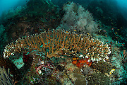 Table top coral (Acropora sp.) Raja Ampat, West Papua, Indonesia, Pacific Ocean  [size of organism: 2 m]| Steinkoralle (Acropora sp.) Raja Ampat, West Papua, Indonesien, Pazifischer Ozean