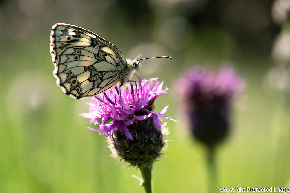 Marbled White Butterfly, Melanargia galathea, Park Gate Down, Kent Wildlife Trust, UK, resting on thistle flower, underside of wings