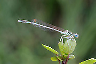 White-legged Damselfly - Platycnemis pennipes