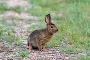 Snowshoe hare in summer coat.
