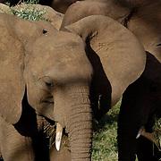 African Elephant ( Loxodanta africana) Young elephant with small tusks. Samburu Game Reserve. Kenya. Africa.