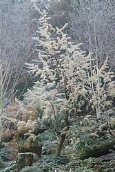 Larix decidua 'Little Bogle' syn L. europaea - Larch