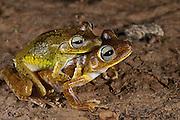 Tree Frog (Hypsiboas crepitans) Mating<br /> Rain Forest<br /> Iwokrama Reserve<br /> GUYANA<br /> South America