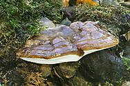 Beeswax Bracket - Ganoderma pfeifferi