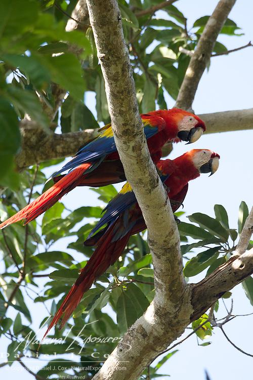 Scarlet Macaw, pair, Osa Peninsula, Costa Rica.