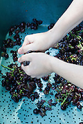 Vineyard. Carignan grapes worker sorts the picked grapes
