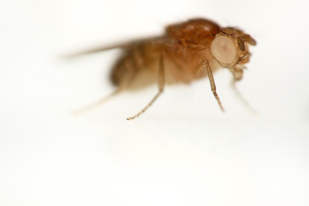 """White type   (Eyes lack pigmentation and appear white) Fruit Fly (Drosophila melanogaster) lab culture.   Eine genmanipulierte Taufliege (Drosophila melanogaster), die unter dem Namen """"Mutation white"""" im Katalog der Wiener Fliegenbibliothek aufgeführt und bestellbar ist. Die Tiere dieses Stammes haben weiße Augen anstelle der üblicherweise roten Augen der wilden Ursprungsform.  Da die Manipulationen am Embryo in Zellen vorgenommen wird, aus denen die Geschlechtszellen des erwachsenen Tieres hervorgehen, sind die hervorgerufenen Eigenschaften erblich. So entstehen ganze nachzüchtbare Stämme von gentechnisch veränderten Taufliegen."""