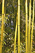 green bamboo forets