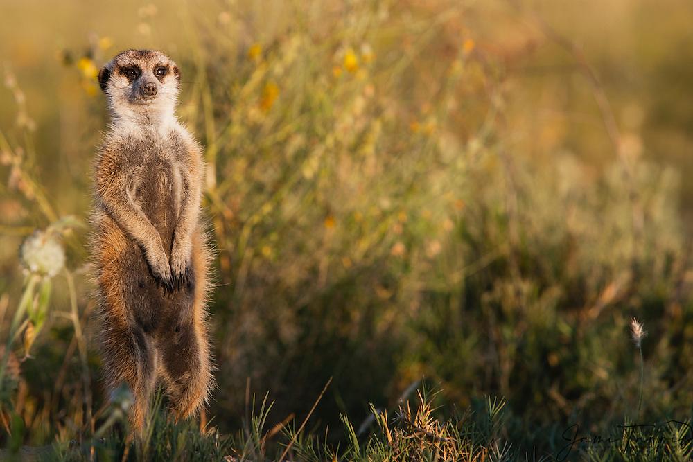 A close-up portrait of a meerkat (Suricata suricatta) on sentry duty in the Makgadikgadi Pan of the Kalahari, Botswana, Africa