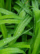 Image of water droplets on the leaves of lilies, taken after a rain storm. Fitchburg, Wisconsin, USA.