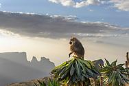 Ein Dschelada-Männchen (Theropithecus gelada) auf einer Riesen-Lobelie, deren Knospe er gefressen hat, Simien Nationalpark, Debark, Region Amhara, Äthiopien / <br /> <br /> A Jelada male (Theropithecus gelada) on a giant lobelia, the bud of which he has eaten, Simien National Park, Debark, Amhara Region, Ethiopia
