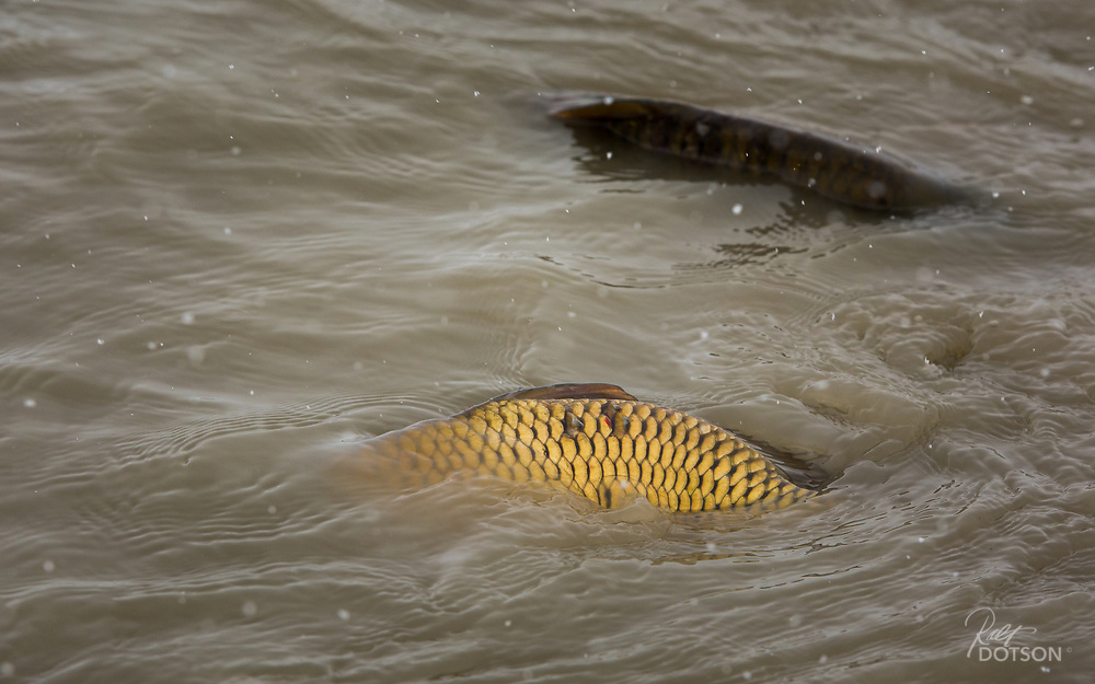 Migrating carp make a winter run to find open water