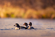 Barrow's Goldeneye is a common species and often seen at Mývatn, Iceland.