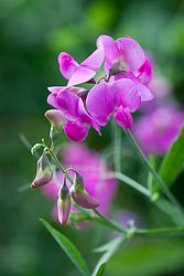 Lathyrus latifolius - Perennial Peavine or Everlasting Pea