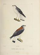 hand coloured sketch of Variable Hawk (Buteo polyosoma polyosoma [Here as Buteo tricolor]) Top: Male bottom: Female From the book 'Voyage dans l'Amérique Méridionale' [Journey to South America: (Brazil, the eastern republic of Uruguay, the Argentine Republic, Patagonia, the republic of Chile, the republic of Bolivia, the republic of Peru), executed during the years 1826 - 1833] 4th volume Part 3 By: Orbigny, Alcide Dessalines d', d'Orbigny, 1802-1857; Montagne, Jean François Camille, 1784-1866; Martius, Karl Friedrich Philipp von, 1794-1868 Published Paris :Chez Pitois-Levrault et c.e ... ;1835-1847