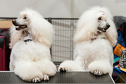 © Licensed to London News Pictures. 07/05/2016. London, UK. A pair of pampered poodles stand at a table.  Huge crowds of pet lovers visit The National Pet Show at the Excel centre.  Everything from dogs, cats, small furry animals to reptiles are on show for visitors to meet. Photo credit : Stephen Chung/LNP