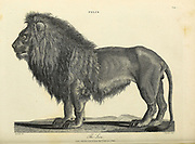 Felis - The Lion Copperplate engraving From the Encyclopaedia Londinensis or, Universal dictionary of arts, sciences, and literature; Volume VII;  Edited by Wilkes, John. Published in London in 1810