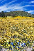 California Goldfields (Lasthenia californica), Coastal Tidy Tips (Layia platyglossa), California Dandelion (Malacothrix californica), and Baby Blue Eyes (Nemophila menziesii) along Shell Creek, San Luis Obispo County, California