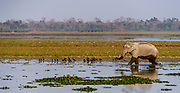 Scene from Kaziranga National Park (Assam, north-east India) with Indian elephant in the wetlands.