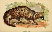The African civet (Civettictis civetta Here as Viverra civetta) is a large viverrid native to sub-Saharan Africa, where it is considered common and widely distributed in woodlands and secondary forests. IFrom the book ' A handbook to the carnivora : part 1 : cats, civets, and mongooses ' by Richard Lydekker, 1849-1915 Published in 1896 in London by E. Lloyd