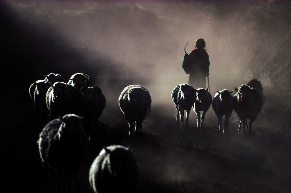 A Quechua Indian girl herds her sheep back home at sunset,  Chimborazo Province.