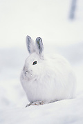 """Alaska. Snowshoe Hare (Lepus americanus) in Yanert Valley. Snowshoe hares are somewhat larger than cottontail rabbits (Sylvilagus spp.). They average around 18 to 20 inches (.5 m) in total length and weigh 3 to 4 pounds (1.4-1.8 kg). In summer the coat is yellowish to grayish brown with white underparts, and the tail is brown on top. This coat is shed and replaced by white pelage in winter, but the hairs are dusky at the base and the underfur is gray. The ears are dark at the tips. The large hind feet are well-furred, adapting these animals for the deep snows of the boreal forests—hence the name """"snowshoe."""""""