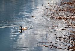 THEMENBILD - eine Ente schwimmt in einem Bach aufgenommen am 29. April 2017, Thumersbach, Österreich // A duck swims in a brook at Thumersbach, Austria 2017/04/29. EXPA Pictures © 2017, PhotoCredit: EXPA/ JFK