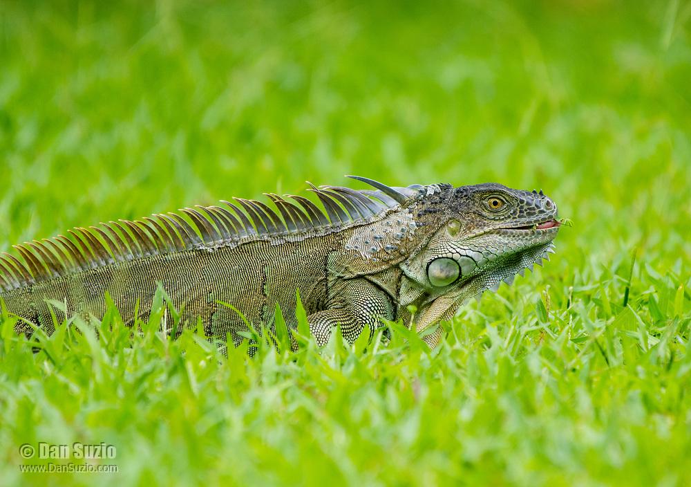Green Iguana, Iguana iguana, eating grass on a lawn at Laguna Lodge, Tortuguero National Park, Costa Rica
