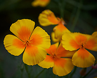 California Poppy flowers. Image taken with a Nikon Df camera and 70-300 mm lens