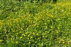 Kruipende boterbloem, Ranunculus repens