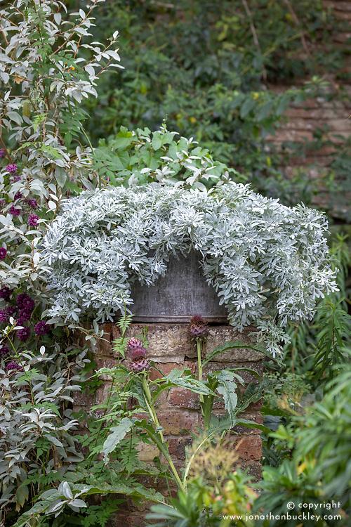 Artemisia stelleriana in large zinc<br />  container