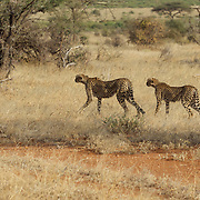 Cheetah, a mother and her older cub begin stalking a herd of grants gazelle in Samburu National Reserve, Kenya.