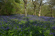 Surrey, UK. Monday 20th April 2014. Bluebells in woods in Surrey near to Wanborough. These Spring flowers cover the woodland floor every year.