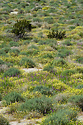 spring plants in the Anza Borrego Desert, California