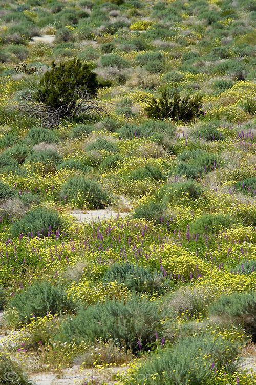 spring plants in the Anza Borrego Desert, California