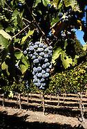 Wine Grapes ~ Cabernet Sauvignon