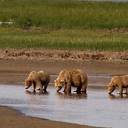 Alaskan Brown Bear (Ursus middendorffi) Mother with cubs  drinking from tidal flats. Katmai National Park. Alaska. ..Alaskan Brown Bear (Ursus middendorffi) Mother with cubs  drinking from tidal flats. Katmai National Park. Alaska.
