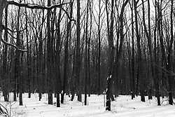 12 February 2010: Some prairie grass still stands and leaves still cling to trees even as snow covers the ground and limbs. The Prairielands, northern McLean County, Illinois