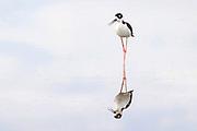 Black-necked stilt, reflected in the shallow, still water of Belen Marsh, Belen, New Mexico.