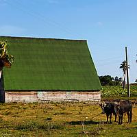 Central America, Cuba, Pinar del Rio. Oxen on Cuban farm in Pinar del Rio province.