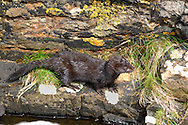 American Mink Mustela vison Length 45-65cm Unwelcome introduction to Britain from North America. An active predator of aquatic life; instrumental in demise of the Water Vole. Hunts in afternoon and after dark. Swims well and buoyantly. Adult has slender body and bushy tail. Fur is soft, silky and typically dark brown. Males is larger than female. Utters high-pitched calls when alarmed. Originated from fur farms ('liberated' animals and escapees) and now alarmingly widespread along waterways throughout. Often the subject of eradication programmes.