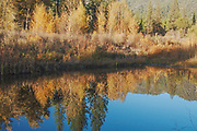 Fall Reflections, Indian Creek, Heart K Ranch, Cottonwoods, Alders, Genesee Valley, California Mountains, Late Fall, Autumn, Fall Color, Fall Leaves, Ponderosa Pine