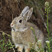 Mountain Cottontail (Sylvilagus nuttalli) portrait of an adult in the spring.