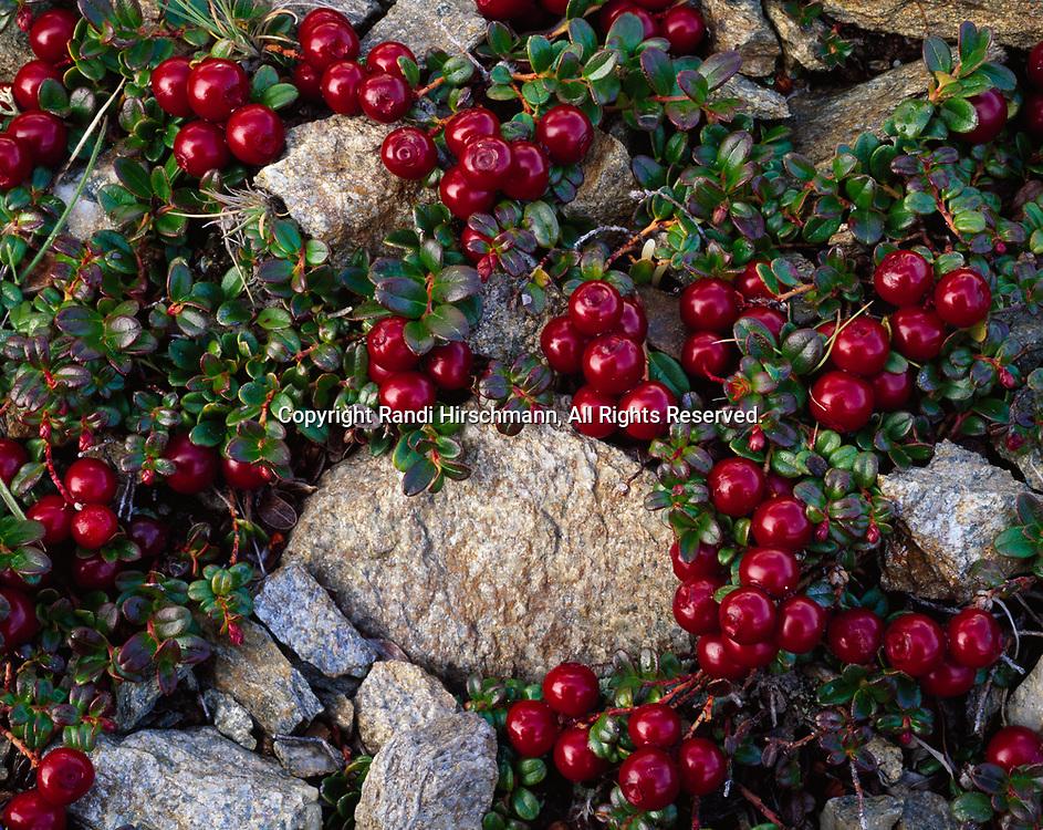 Maroon berries of lowbush cranberry, Vaccinium vitus-idaea, Kantishna Hills, Denali National Park, Alaska.
