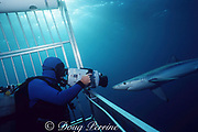 diver films blue shark, Prionace glauca, from cage, Channel Islands National Marine Sanctuary, California, USA ( Eastern Pacific Ocean )