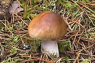 Cortinarius stillatitius