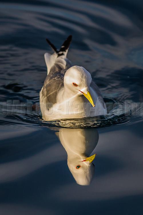 Seagull with reflection in the sea | Måke med refleksjon i sjøen