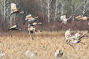 Sandhill cranes landing in marsh.