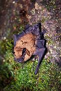 A Big Brown Bat (Eptesicus fuscus) roosting on tree bark. Forest park, NE Oregon. Summer 1991